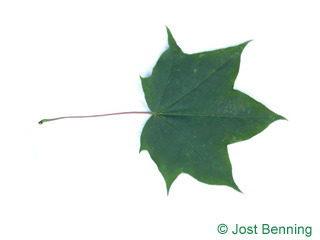 The lobate leaf of Cappadocian Maple
