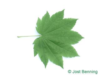 The lobate leaf of acero a vite