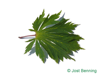The lobate leaf of Acer japonicum 'Aconitifolium'