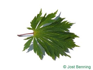 The lobate leaf of Acer japonicum 'Aconitifolium'
