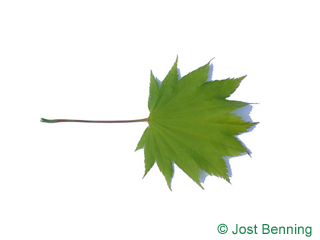 The lobate leaf of acero giapponese | Acer shirasawanum