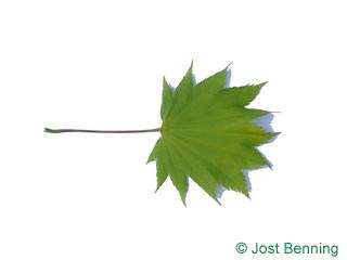 The lobate leaf of acero giapponese   Acer shirasawanum