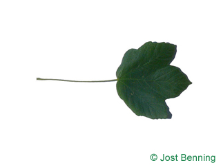 The lobate leaf of Italian Maple