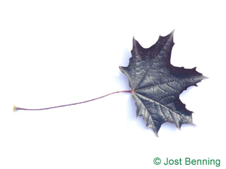 The lobate leaf of Red Norway Maple