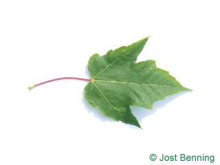 The lobate leaf of acero rosso