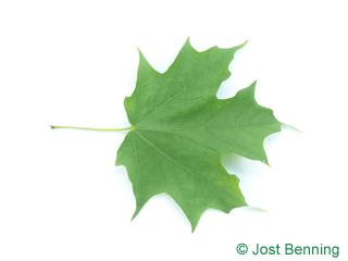 The lobate leaf of acero da zucchero