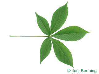 The composte leaf of ippocastano dell'ohio | aesculus glabra