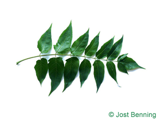 The composte leaf of Tree Of Heaven