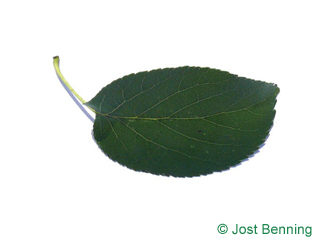 The ovoidale leaf of alnus cordata