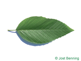 The ovoidale leaf of Alnus firma