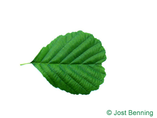 The arrotonate leaf of ontano europeo