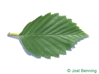 The ovoidale leaf of Ontano bianco | Ontano grigio