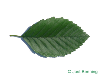 The ovoidale leaf of Red Alder