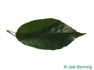 The ovoidale leaf of Spaeth's Alder