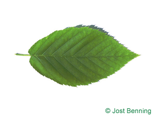 The ovoidale leaf of betulla gialla