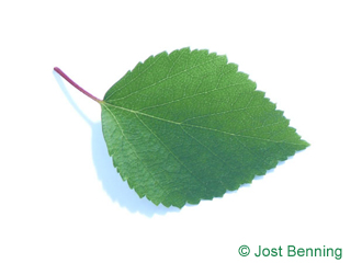 The ovoidale leaf of betulla blu