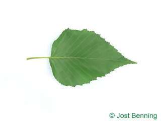 The ovoidale leaf of betulla ermans