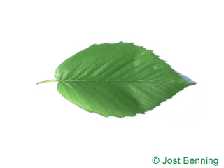 The ovoidale leaf of betula lenta