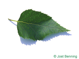 The ovoidale leaf of betula papyrifera