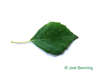 The ovoidale leaf of betulla bianca