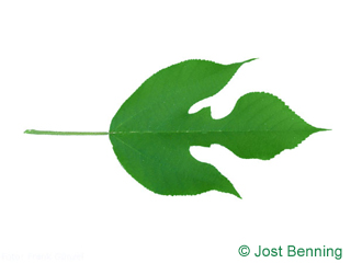 The lobate leaf of Paper Mulberry