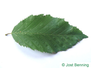 The ovoidale leaf of carpine