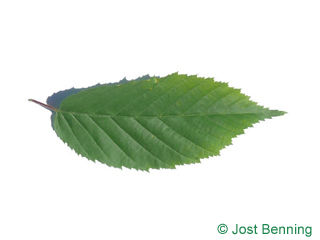 The ovoidale leaf of American Hornbeam