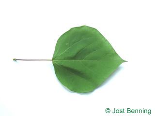 The a forma di cuore leaf of l'albero dei sigari