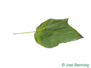 The lobate leaf of Red-Leaved Indian Bean Tree