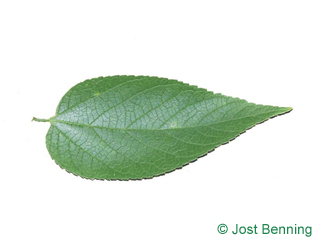 The ovoidale leaf of Common Hackberry