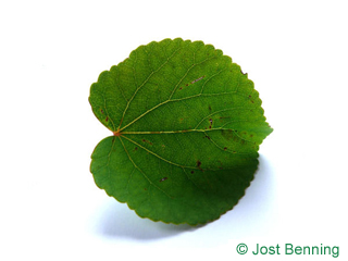 The arrotonate leaf of albero katsura
