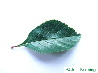 The ovoidale leaf of crataegus crus-galli