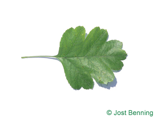 The ovoidale leaf of Redthorn