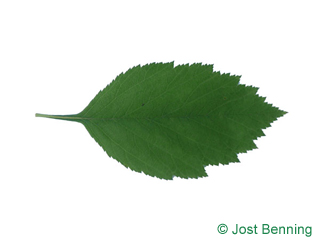 The ovoidale leaf of Downy Hawthorn