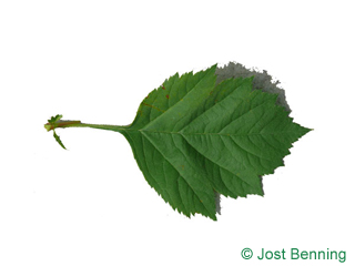The ovoidale leaf of Redhaw Hawthorn