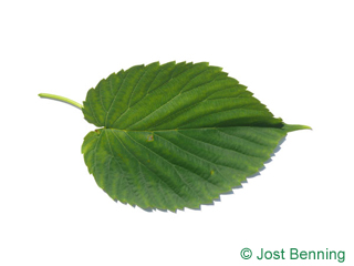 The ovoidale leaf of Handkerchief Tree