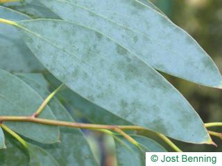 The lanceolate leaf of Snow Gum