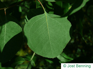 The arrotonate leaf of Silver Dollar Gum