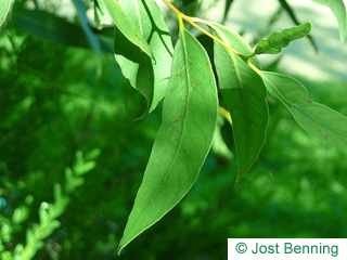 The lanceolate leaf of Broad-Leaved White Mahagoni