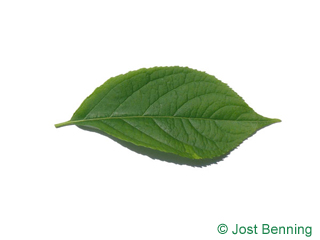 The ovoidale leaf of Hardy Rubber Tree