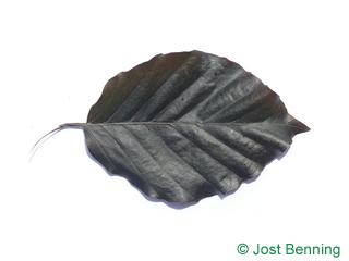 The ovoidale leaf of Dawyk Beech