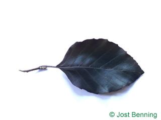 The ovoidale leaf of faggio selvatico | faggio europeo (rosso)