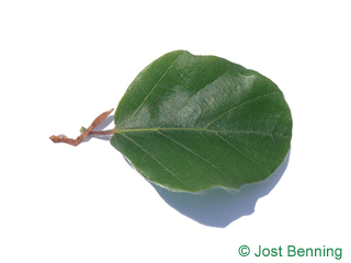 The arrotonate leaf of Round-leaved European Beech