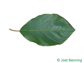 The ovoidale leaf of Alder Buckthorn