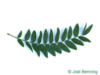 The composte leaf of Honey Locust