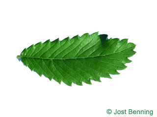 The ovoidale leaf of Thorn-Elm