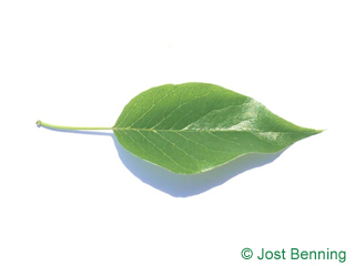 The ovoidale leaf of Osage-Orange, Bois-D'Arc