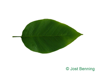 The ovoidale leaf of Cucumber Tree