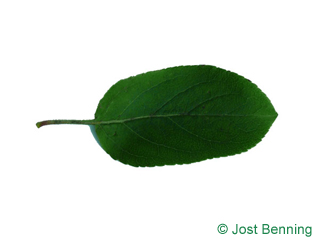 The ovoidale leaf of European Crab Apple