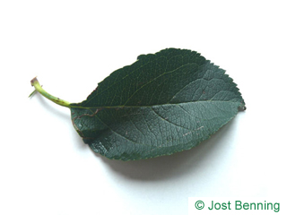 The ovoidale leaf of albero di mela